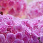 母の日にアジサイが贈られるのはなぜ?花言葉やおすすめは?