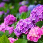 紫陽花の色ごとの花言葉 結婚式にも良い意味とは 種類や名前も