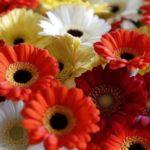 ガーベラの花言葉は元気で前向きになれる!色別に詳しくご紹介