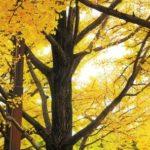 国営昭和記念公園の紅葉の見頃と最寄り駅や紅葉スポットをご紹介