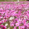 コスモスの花言葉は可憐だけど切ないのもあった!色別に詳しくご紹介
